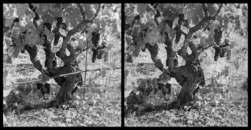 Left scan from original negative right scan from silver print from digital negative barricia vineyard planted 1888